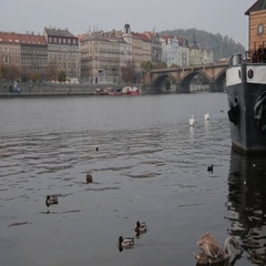 Swams And Ducks Swimming In Vltava, Prague Stock Footage