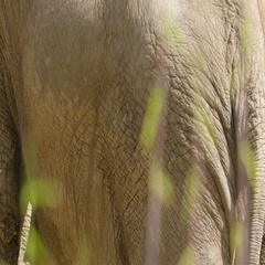 The thick wrinkled skin of the elephant Stock Footage