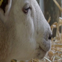 A white sheep chewing some food on the mouth Stock Footage