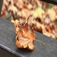 Autumn maple leaves on the old park bench, fall season outdoor. Stock Footage