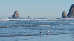 Gulls feeding on Cannon Beach with Haystack Rock in background Stock Footage
