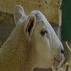 Closer look of the sheep eating food in the barn Stock Footage