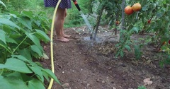 Eco gardening : Woman watering tomatoes POV Stock Footage