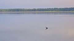 Blue Heron feeding early in the morning Stock Footage