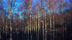Beautiful lush forest autumn bare trees long stems woods sunny day blue sky Stock Footage