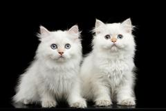 Furry British breed Kitty white color on Isolated Black Background Stock Photos
