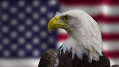 Bald eagle engaging the camera in front of american flag Stock Footage