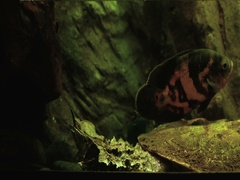 Aquarium of Genoa, Italy September 20, 2016: one Oscar fish near a Mata turtle Stock Footage