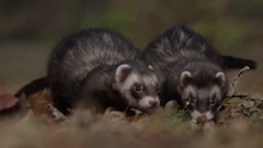 Ferret searching around on forest floor for food - foraging Arkistovideo
