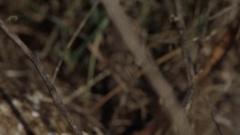 Diamondback snake pan to face from grass Stock Footage