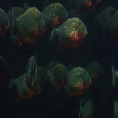 Aquarium of Genoa, Italy September 20, 2016: some piranha fishes wait their prey Stock Footage