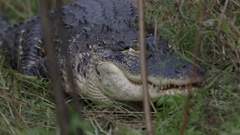Alligator predator stalking through the leaves and underbrush Stock Footage