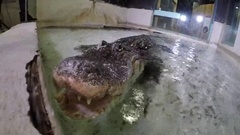 Alligator rotating view of big dangerous animal in captivity Stock Footage