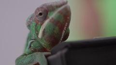 Chameleon climbing onto camera Stock Footage