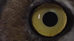 Great horned owl macro eyeball Stock Footage