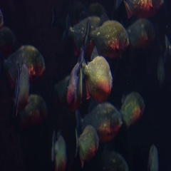 Aquarium of Genoa, Italy September 20, 2016: some piranha in the water Stock Footage