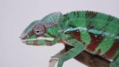 Chameleon macro close up crawling Stock Footage