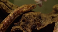 Corn snake going after feeder mouse Stock Footage
