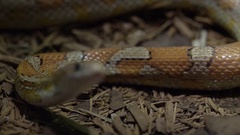 Corn Snake slithering rack focus tongue slow motion Stock Footage