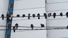 Pigeons sitting on wires Stock Footage