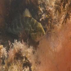 Dusky Morwong, herbivorous fish, Dactylophora nigricans Stock Footage