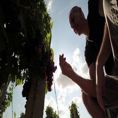 Winemaker or Vintner Tasting Quality of Ripe Grapes Stock Footage