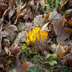 Cinemagraph of swinging yellow mapple leaf on the ground Stock Footage