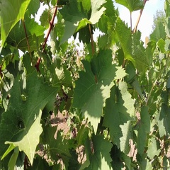 Ripe Black Grapes in Vineyard Stock Footage