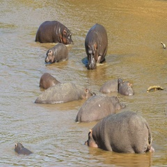 High angle view of a hippo herd in a river in masai mara, kenya Stock Footage