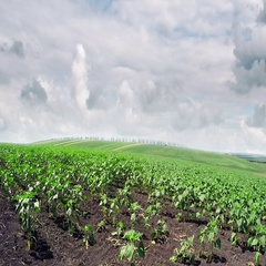Young sprouts of sunflower and cumulus clouds in the sky. Stock Footage