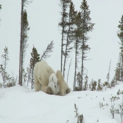 Polar Bear female with new born cubs at Denning site Stock Footage