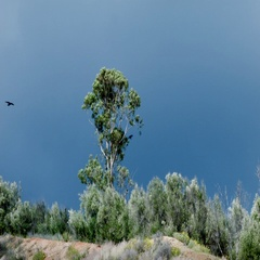 CROWS / RAVENS CIRCLE A TREE Stock Footage