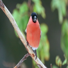 Bullfinch male bird perched on branch front view feeds on sees Stock Footage