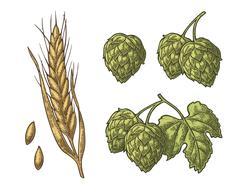 Set hop herb plants with leaf and Ear of barley. Vector vintage engraved Stock Illustration