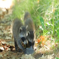 3 Cute Baby Raccoons Walk Towards Camera On Dirt Ground In Summer Stock Footage