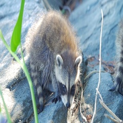Cute Baby Raccoon Looking At Camera Then Walks Away On Rock In Summer Stock Footage