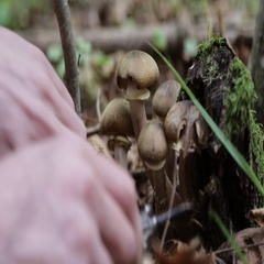 Human hands are cut mushrooms in the forest at autumn. Close-up. Stock Footage