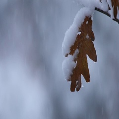 Slow motion of snow falling on a single oak leaf Stock Footage
