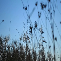 Twilight sky and sedge silhouettes Stock Footage