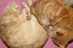Two slipping red cats are on pink pet underlay. Stock Photos