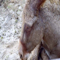 Donkey lying on the ground Stock Footage