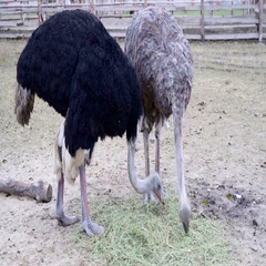 A pair of African ostriches on a farm Stock Footage