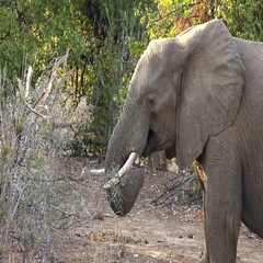 Elephants (in African; 4K footage) Stock Footage