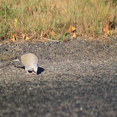 Turtledove on the roadside collecting crumbs Stock Footage