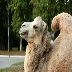 Two-humped camel in Toronto zoo Stock Footage