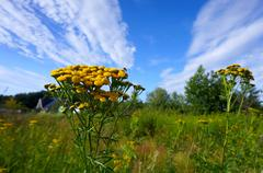 Tansy, clouds, sky, field Stock Photos