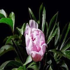 Timelapse of pink peony flowering. 4K Stock Footage
