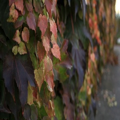 Ornamental creeper on the wall Stock Footage