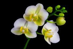 White orchid flower Stock Photos