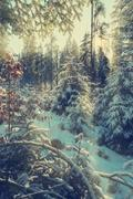 Soft light of setting sun illuminate the snow covered firs branches Stock Photos
